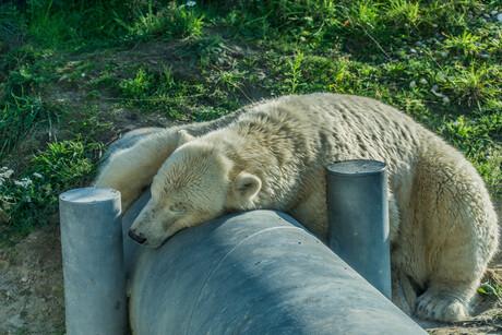 09391 sleeping polarbear