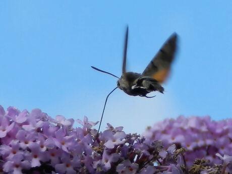 Kolibri-vlinder
