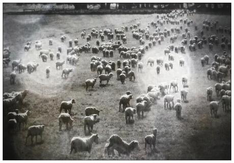 Als makke schapen....