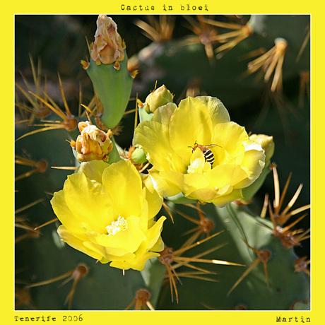 Cactus in bloei