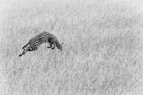 Jagende serval z/w