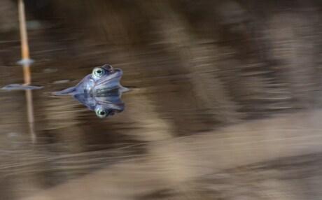 blue frogg