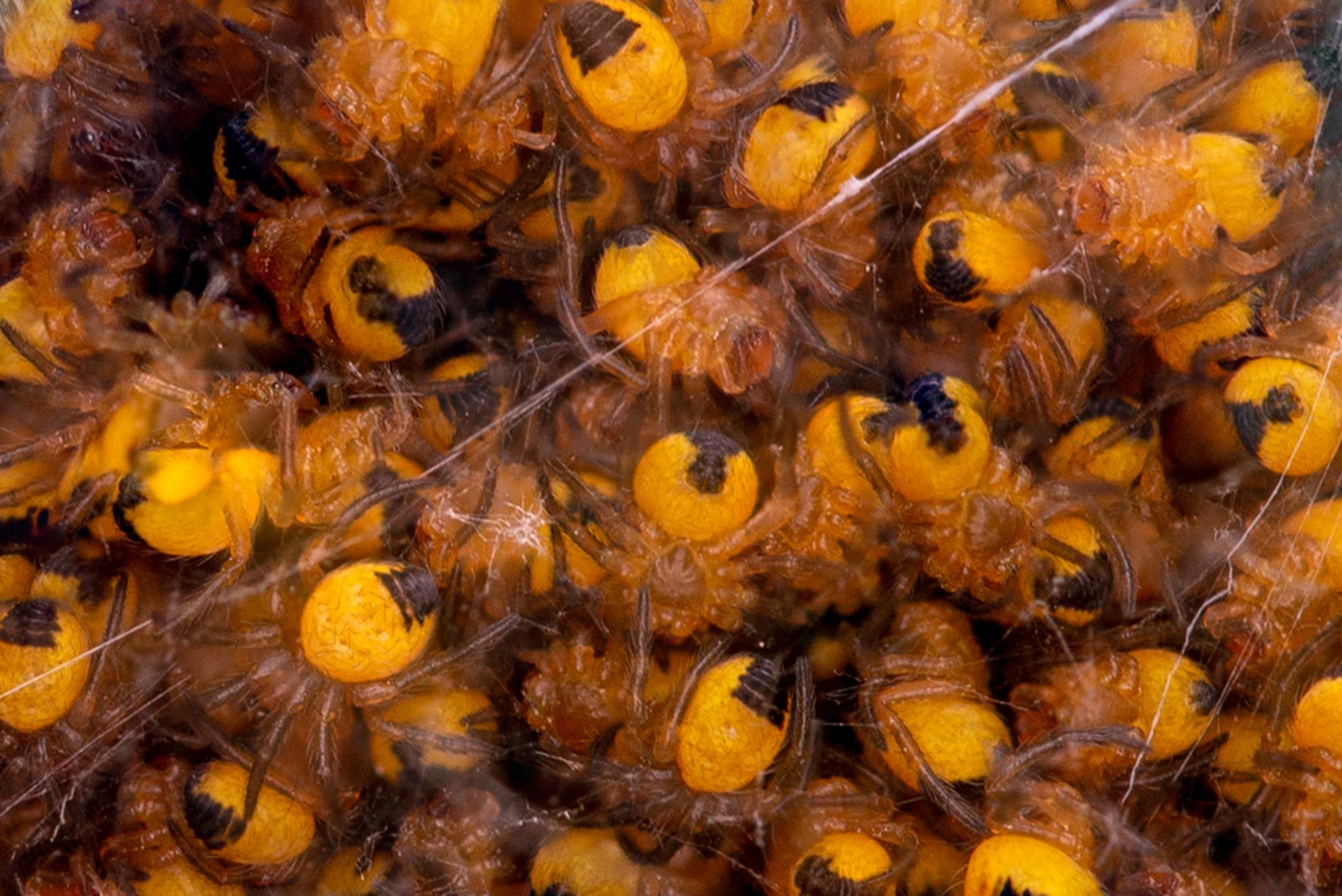Nestje bouwen - De natuurlijke vijand van de mug maakt zich klaar voor de zomer - foto door RBvandaag op 12-05-2019 - deze foto bevat: macro, natuur, spin, tuin, focusstack - Deze foto mag gebruikt worden in een Zoom.nl publicatie