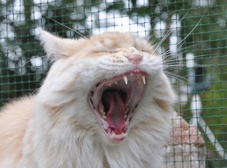 Wijder kan niet - Sunny trekt ze bekkie ef  open , het lijkt  eng ...maar het is de liefste  Mainecoon die er is . - foto door pietsnoeier op 01-10-2010 - deze foto bevat: tijger