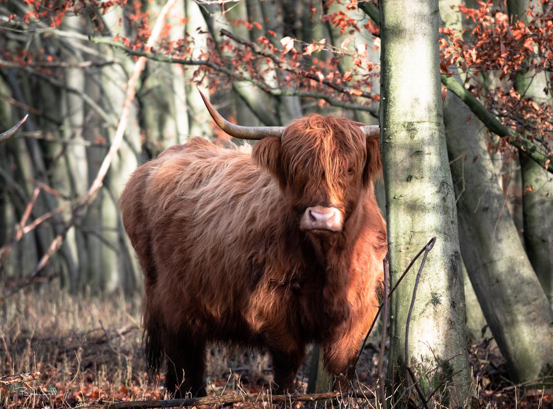 Highlander cattle - - - foto door Bakinett op 29-12-2020 - deze foto bevat: macro, kikker, water, uil, meeuw, dierentuin, kitten, libelle, natuur, vlinder, poes, roodborstje, koe, sneeuw, paard, dieren, safari, vogel, vis, huisdier, ree, eekhoorn, hond, gans, eend, zwaan, schaap, vos, buizerd, reiger, koolmees, hert, fuut, zeearend, artis, awd, olifant, kat, aap, watervogel, leeuw, tijger, roofvogel, torenvalk, afrika, wildlife, ijsvogel, jong, emmen, blijdorp
