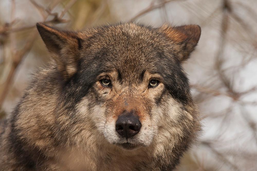 Europese wolf - 05-03-15. Europese wolf. - foto door janden op 22-03-2015 - deze foto bevat: wolf, blijdorp, europese wolf
