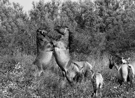Paarden3 kl