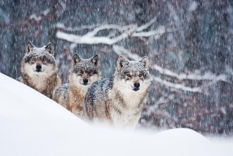 wolven in de sneeuw