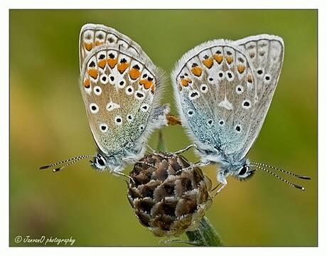 Paring icarusblauwtjes