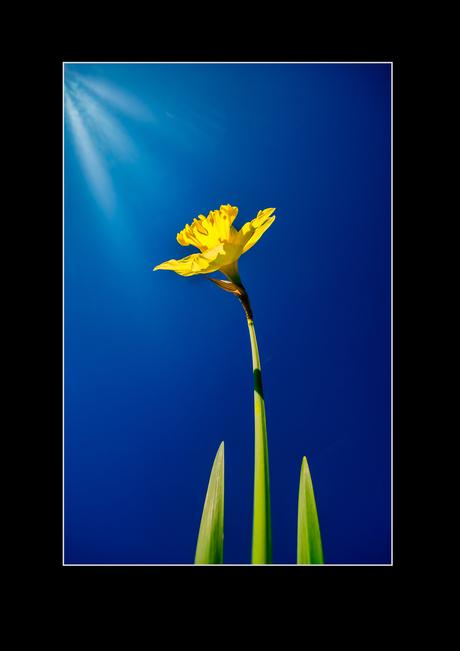 Narcis in het voorjaar