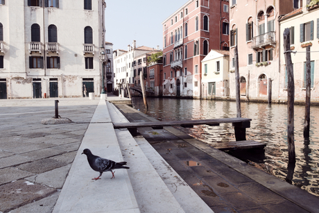Venetië - Duif