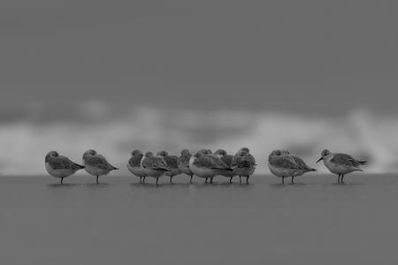 Groepje drieteenstrandlopers. - Groepje drieteenstrandlopers die op een bewolkte dag op het strand rusten. - foto door timlinkwildlife op 27-10-2020 - deze foto bevat: strand, zee, water, natuur, dieren, duinen, nederland