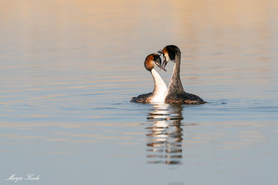 Liefde is soms een goed gesprek - Dit futen koppel had een goed gesprek over hun toekomst plannen... - foto door Marja8032 op 01-04-2021 - deze foto bevat: water, fuut, watervogel, balts