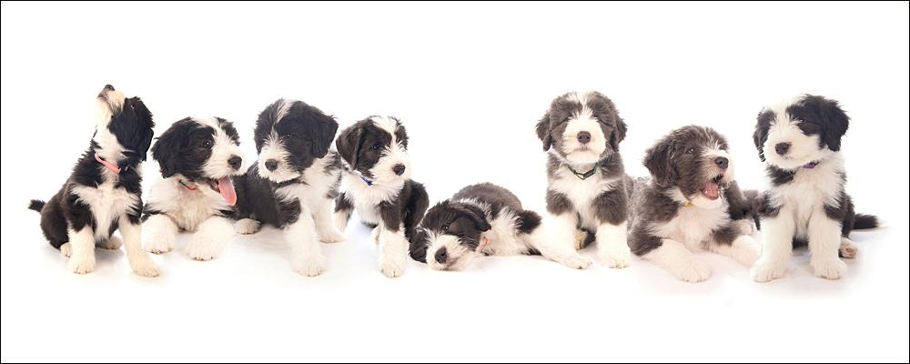 B nest - Nestje Bearded Collie's @ 8 weekjes Na deze 8ling de 1ste 7 weekjes bij hun thuis gefotografeerd te hebben, zijn ze met 8 weekjes de studio onveilig - foto door Silky op 27-07-2011 - deze foto bevat: huisdier, hond, puppy, puppie, beardedcollie, puppy's