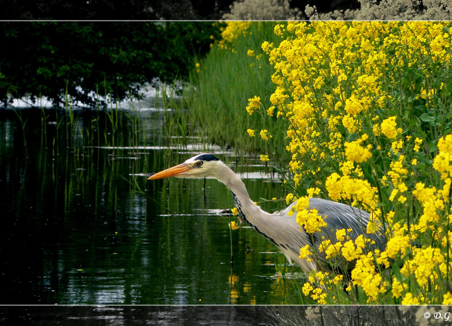 Silent Hunter - Minuten, uren zo stil blijven zitten zonder er nekklachen aan over te houden.  Bewonderingswaardig! - foto door daniel44 op 05-05-2008 - deze foto bevat: groen, water, natuur, blauwe, vogel, geel, rijger, daniel44