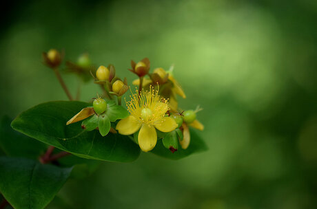 Hertshooi (Hypericum Calycinum)