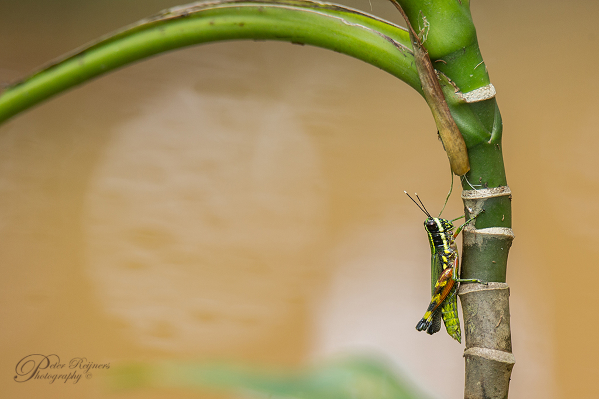Jumper - Een opname van afgelopen zomer in Suriname. Iedereen bedankt voor de leuke reacties en beterschapswensen bij mijn vorige upload :)  Gr en fijn week - foto door Peterr_zoom op 30-11-2018 - deze foto bevat: macro, zon, water, lente, natuur, bruin, geel, licht, tuin, sprinkhaan, libel, zomer, insect, dauw, dof, bokeh, Peterr, Canon 5D Mark III