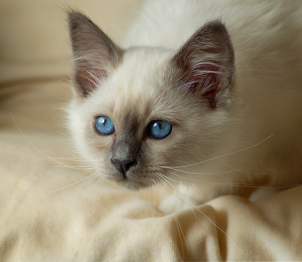 Sweet - - - foto door @Linda op 22-09-2008 - deze foto bevat: kitten, heilige, birmaan, -linda