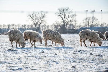 Schapen in de sneeuw
