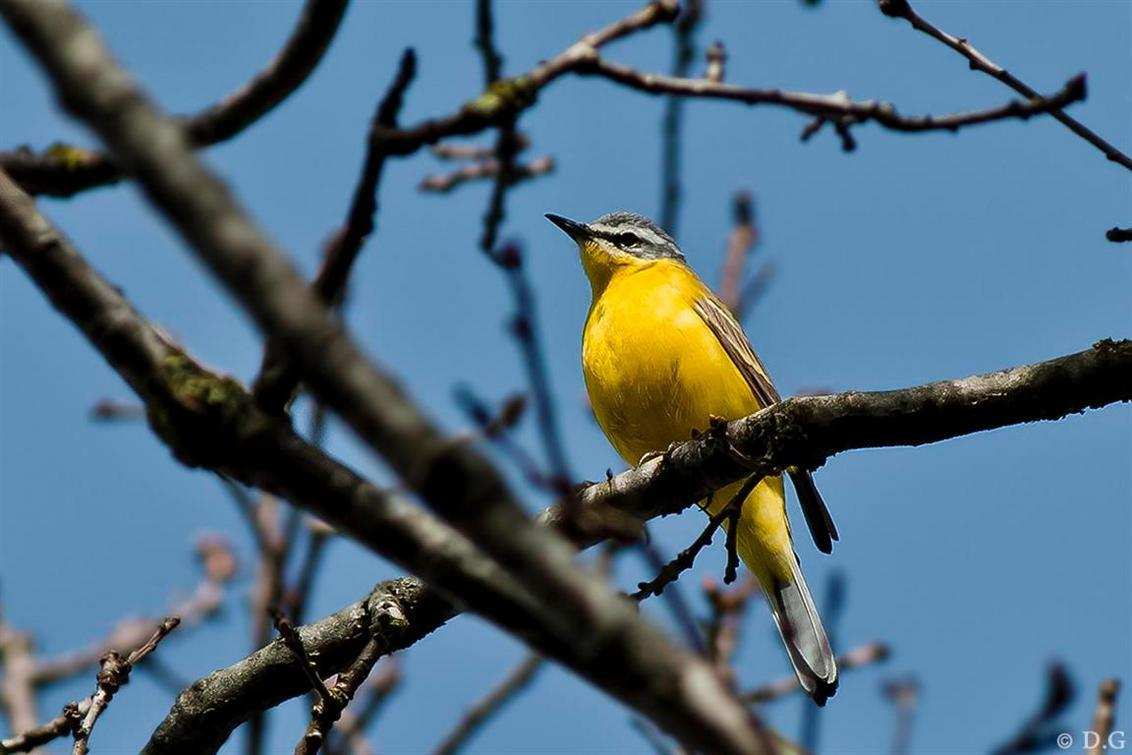 Gele Kwikstaart - 10 april 2011  Ik denk dat iedereen het wel kent. Dat moment dat je iets moois voor de eerste keer op de foto kunt zetten.   Dit was de eerste ke - foto door daniel44 op 10-05-2011 - deze foto bevat: natuur, geel, gele, dieren, vogel, kwikstaart
