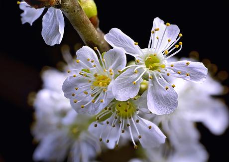 Zoete kers (Prunus avium)2619