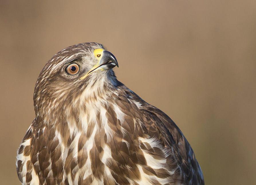 Wat hoor ik - Deze roofvogel gefotografeerde ik op het moment dat ze even naar boven keek .... als ze ook maar even iets horen kijken ze direct heel nieuwsgierig  - foto door jzfotografie op 10-02-2017 - deze foto bevat: kleuren, wit, vogels, bruin, geel, licht, zwart, dieren, oog, geluid, roofvogel, nederland, achtergrond, kijken, contrast, nieuwsgierig, horen, snavel, omhoog, egaal, Noord Holland, anna paulowna