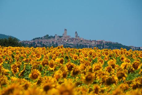 Zonnebloemen voor San Gimignano