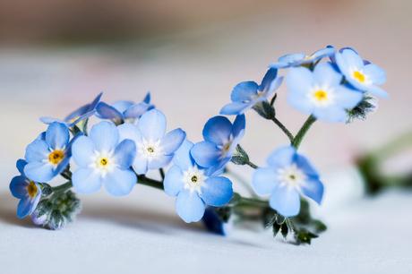 hoor hoe de lente roept : vergeet-mij-niet !!!