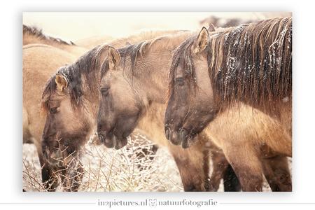 Konikskoppel - Dit drietal stond precies hetzelfde, met het hoofd laag, kont tegen de wind in en lekker dicht bij elkaar. Waarschijnlijk om de plotseling winterse w - foto door in2picturesnature op 20-01-2021 - deze foto bevat: natuur, paarden, sneeuw, winter, paard, wildlife, lentevreugd, konikpaard, telelens