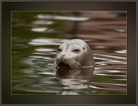 Gewoon...een zeehond