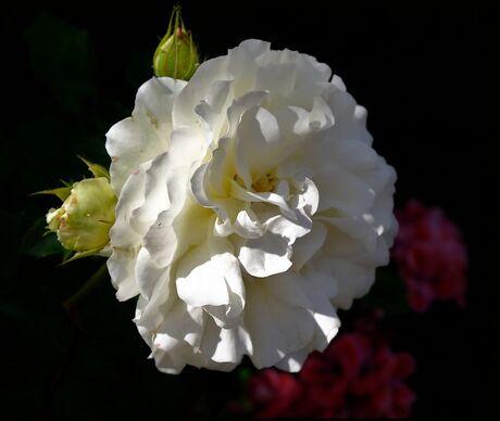 Witte roos...
