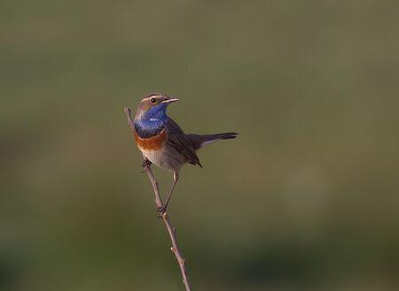 Blauwborst - Het blijven toch prachtige vogeltjes. Uit de hand geschoten. - foto door fer68 op 30-04-2018
