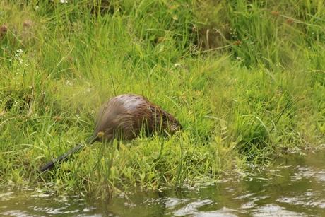 Otter, Bever of ???