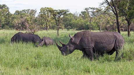 Witte Neushoorn in Uganda