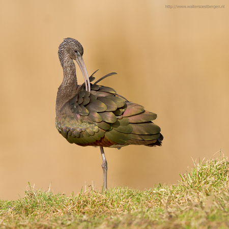 Zwarte Ibis????? - Vreemde naam voor een gekleurde vogel. Glossy Ibis is een naam die hem meer aandoet. Maar dat is dan ook zijn Engelse benaming - foto door walter-soestbergen op 24-02-2014 - deze foto bevat: natuur, vogel, watervogel, Glossy Ibis, Zwarte Ibis
