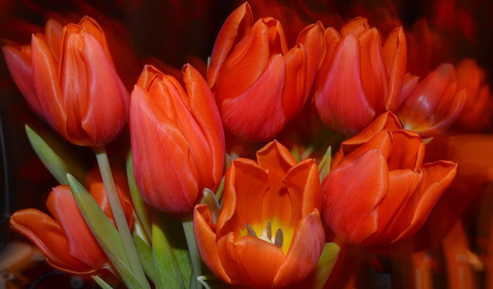 Tulips - tulpen - foto door sandres op 26-01-2012 - deze foto bevat: rood, tulpen, tulips - Deze foto mag gebruikt worden in een Zoom.nl publicatie