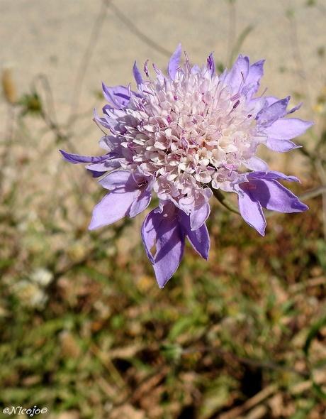 Knautia purpurea.