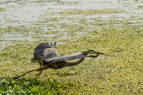 California Heron, Brentwood