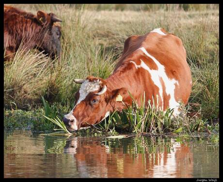 Hollands koe tafereel