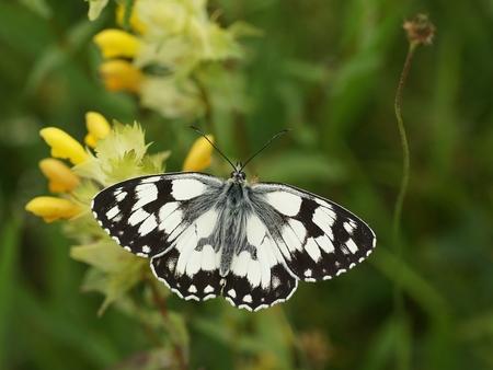 Dambordje - Uit de Pyreneeën - foto door wilbert10 op 20-07-2012 - deze foto bevat: vlinder, dambordje, zwart-wit