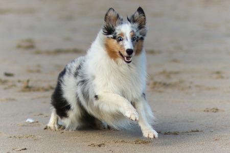 Sheltie running - - - foto door Sanderp op 08-10-2016 - deze foto bevat: strand, hond, lachen, shetland, happy, rennen, sheltie, shetland sheepdog