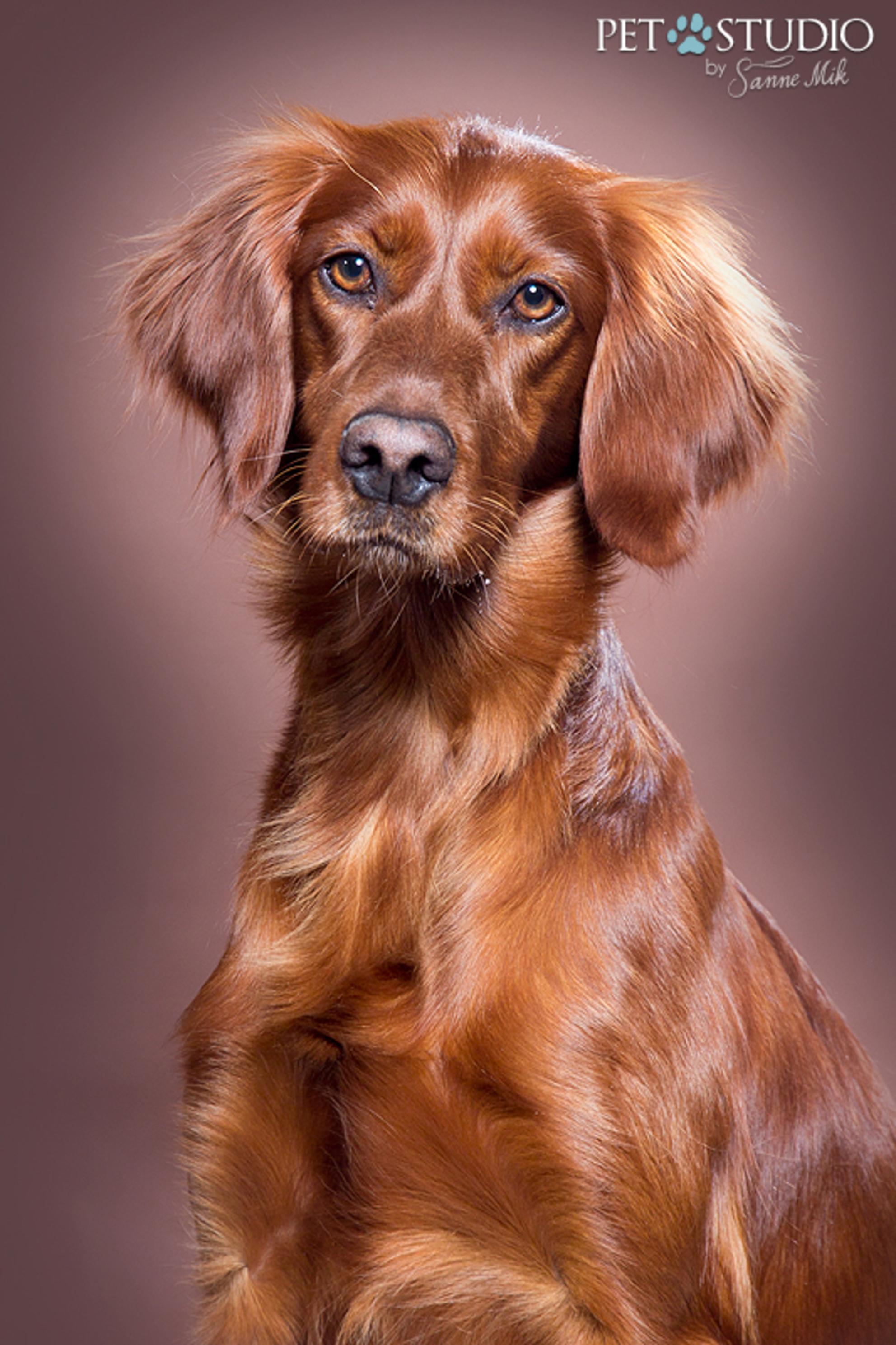 Ierse Setter door Pet Studio - Ierse Setter door Pet Studio | Hondenfotograaf Sanne Mik - foto door PetStudio op 17-01-2016 - deze foto bevat: hond - Deze foto mag gebruikt worden in een Zoom.nl publicatie