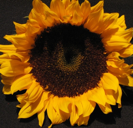 sunflower by me