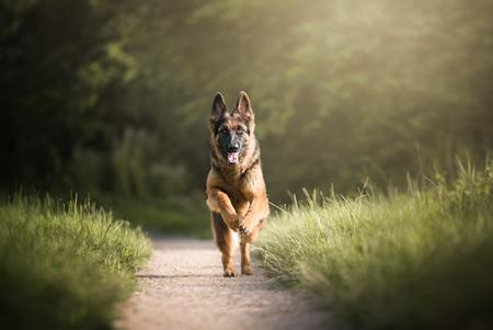 Komt 'ie! - Oudduitse herder Charlie. - foto door HannahV op 30-07-2017 - deze foto bevat: natuur, huisdier, hond, herder, actie