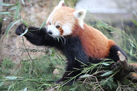 Rode panda - - - foto door Goppy op 29-06-2014 - deze foto bevat: dierentuin, natuur, dieren, blijdorp