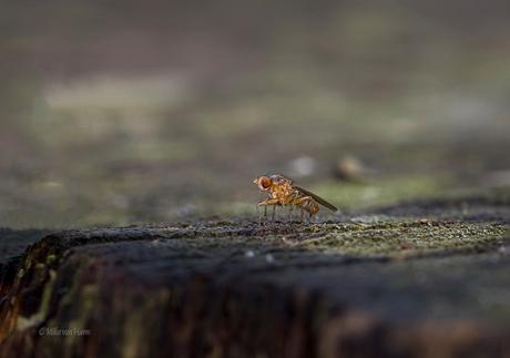 Heel klein strontvliegje