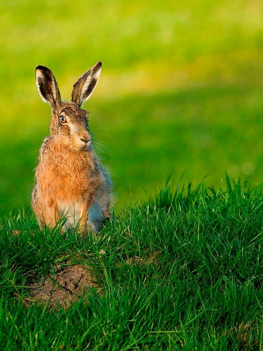 Poserende Haas - Een haas die op een mooie zonnige avond voor de lens ging zitten. - foto door experientia op 05-05-2013 - deze foto bevat: dieren, haas, dier
