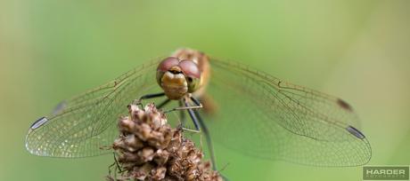 oogcontact met heidelibel