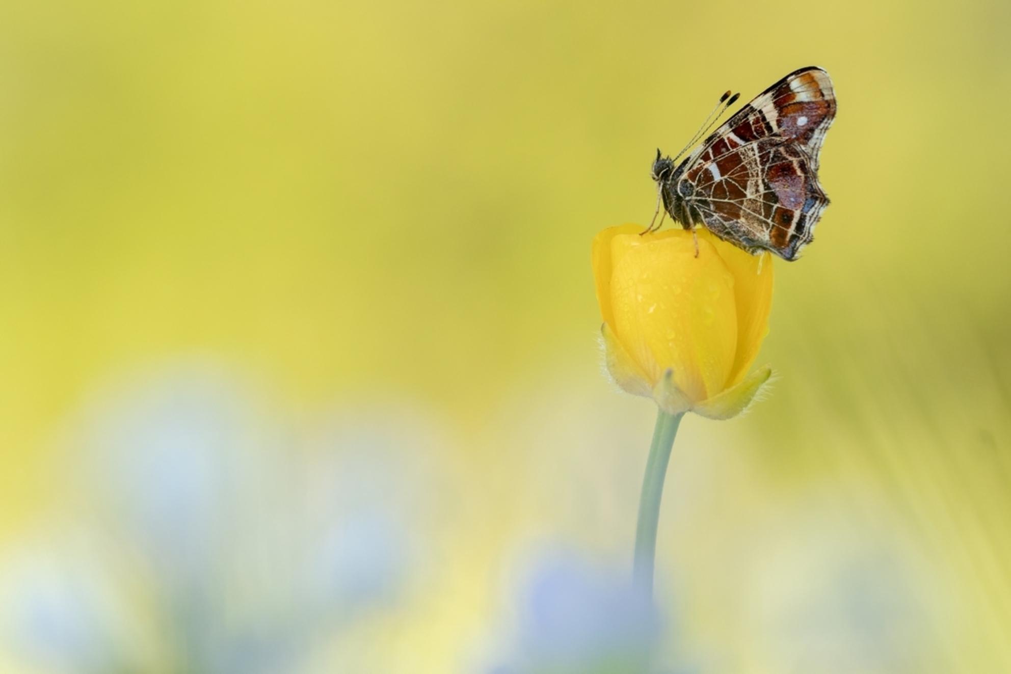 landkaartje - nog een foto van een landkaartje, het zonlicht zorgde voor een mooie gele achtergrond..  bedankt voor alle reacties op mijn vorige upload ! gr. Mar - foto door MvanDijk op 08-05-2018 - deze foto bevat: macro, wit, zon, bloem, lente, natuur, vlinder, geel, licht, insect, dauw, dof
