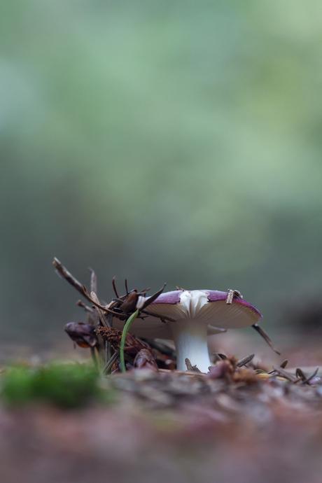 Russula violacea